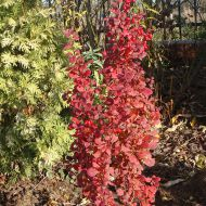 Berberis thunbergii 'Red Pilar' (Berberys Thunberga) - berberis_thunbergii__red_pillar__1[1].jpg